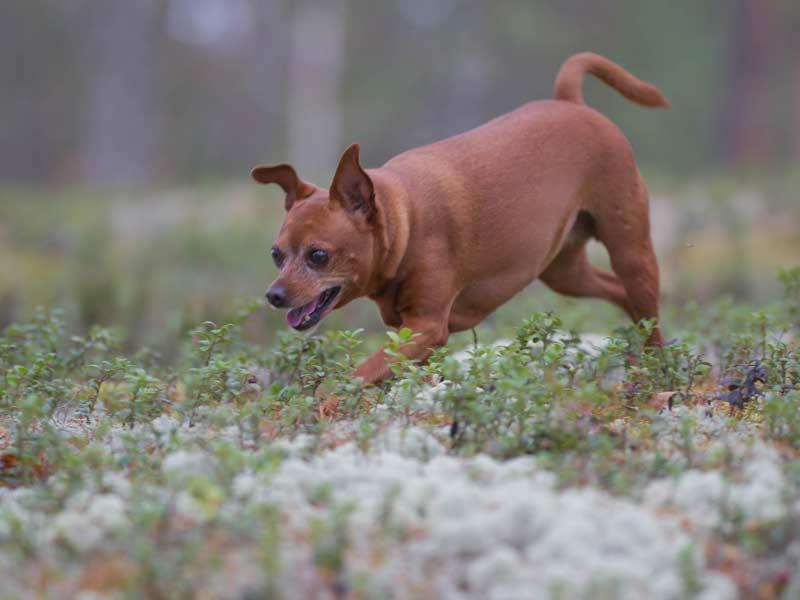 Ylämäen Virkityslomat -Koira